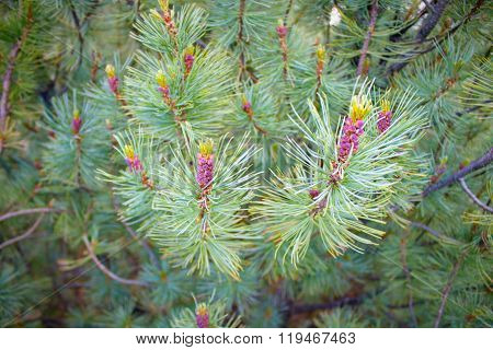 Pine Elfin Wood With Purple Cones