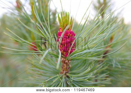 Pine Elfin With Purple Cones