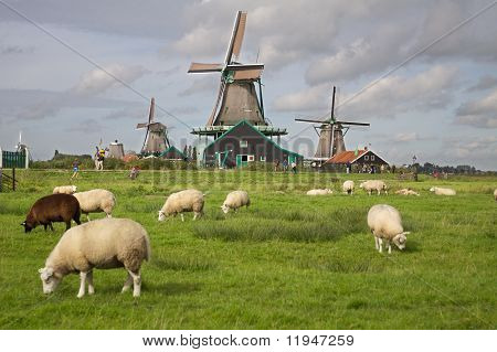 Goats at a farm in Zaanse Schans near Amsterdam in the Netherlands
