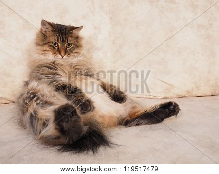 Fluffy Red Cat Is Sitting Very Funny