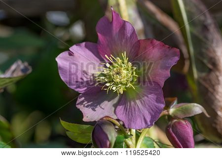 Aubergine Colored Christmas Rose, Helleborus Niger