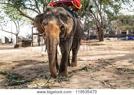 Asian elephant