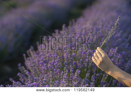 Gently Holding Lavender