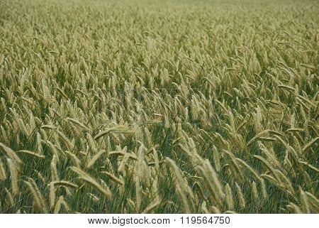 Short Green Wheat In Field