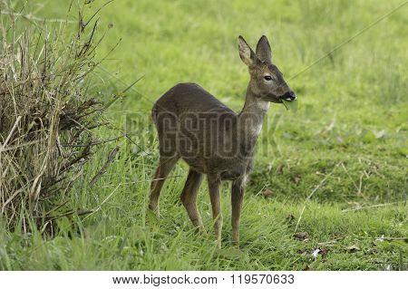 Roe Deer grazing in a field