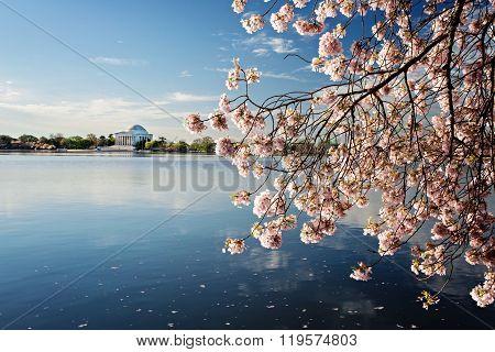 Cherry Blossoms Washington Dc Sunrise
