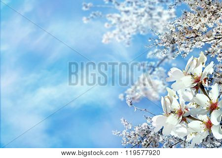 flowering almond as background