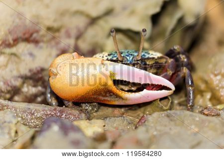 Colorful fiddler crab on a tropical beach in Thailand