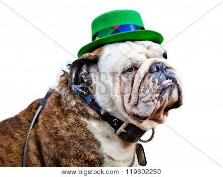English bulldog wearing St Patrick's Day hat