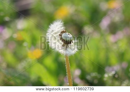 Summer Ripe White Dandelion On A Blurry Green Background. White Fluffy Dandelion Seeds Which Half Bl