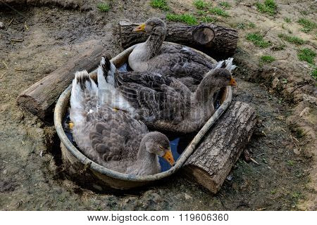 Goose Sitting In A Tin Bath. Group Of Goose Lying In The Grass. Domestic Geese Family Graze On Tradi