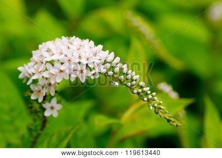 White gooseneck loosestrife flowers in summer