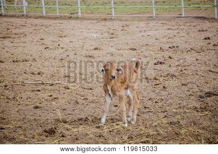 Brown Calf Standing In Farm