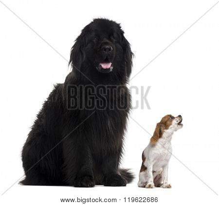 Newfoundland (3 years old) sticking the tongue out and Cavalier King Charles barking up, isolated on white