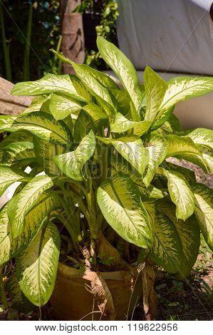 green Dieffenbachia plants