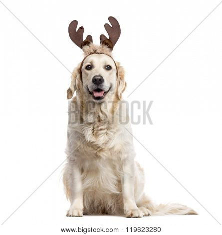 Golden Retriever with Christmas decorations looking at the camera and sticking the tongue out, isolated on white (2 years old)
