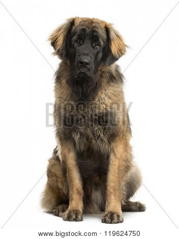 Leonberger sitting in front of a white background