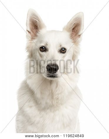 Close-up of a Swiss Shepherd Dog in front of a white background