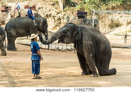 Chiangmai Thailand - February 20 : elephant is sitting and putting hat on mahout 's head on February 20 2016 at Mae Sa elephant camp Chiangmai Thailand