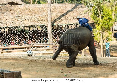 Chiangmai Thailand - February 20 : elephant use hindlegs to kick football on February 20 2016 at Mae Sa elephant camp , Chiangmai , Thailand