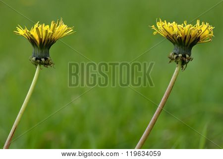 Dandelion (Taraxacum offinale)