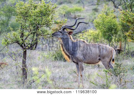 Greater Kudu In Kruger National Park, South Africa