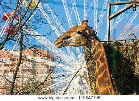 Giraffe Lunch