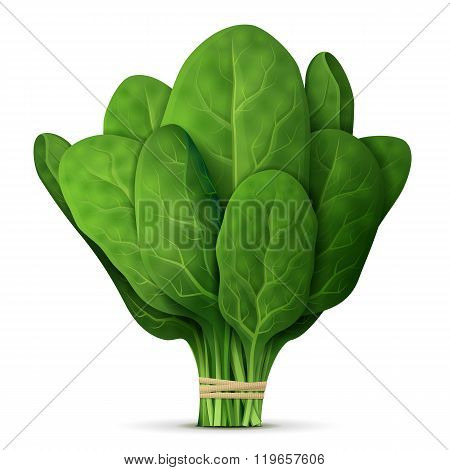 poster of Green raw spinach leaves isolated on white background. Qualitative vector illustration for agriculture vegetables cooking health food gastronomy olericulture etc. It has transparency blending modes mask gradients
