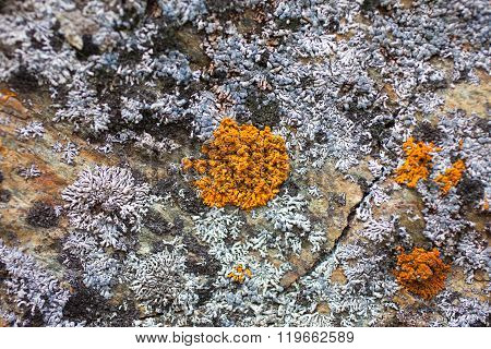 Colored Lichen On The Rocks