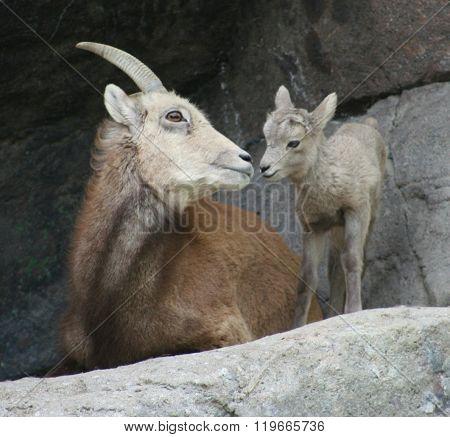 Bighorn ewe nose to nose with baby lamb.