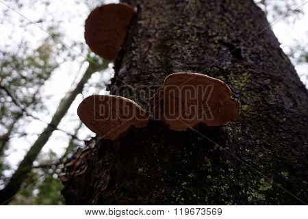 Artist's Bracket Fungus