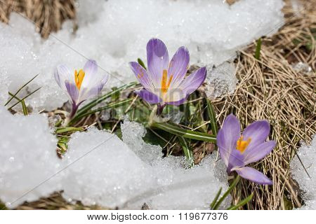 Crocuses in the snow in Riva di Tures South Tyrol Italy