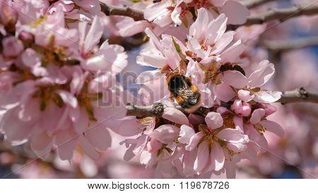 Una Abeja Sobre árbol Almendro En Flor