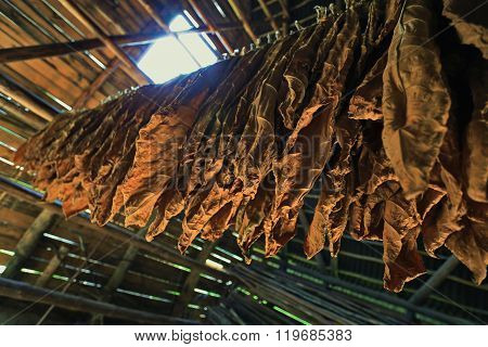 Tobacco leaves drying in the shed. Vinales Valley, Pinar del Rio, Cuba