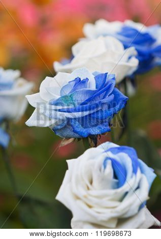 Beautiful White And Blue Roses