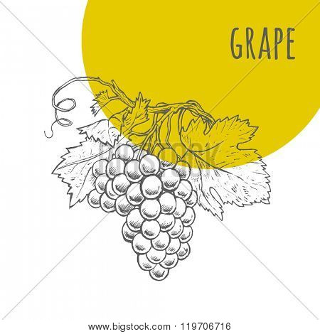 Grape vector freehand pencil drawn sketch. Illustration of grapes bunch on branch with leaves. Part of set of fruits sketchy drawings.