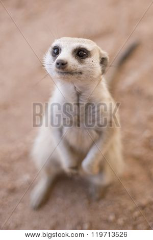 Inquisitive Meerkat.