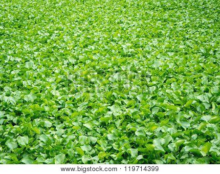 Water Hyacinths Cover A Lake