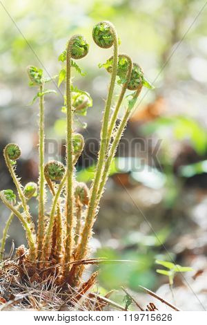 Fern plant unrolling new young frond in spring forest