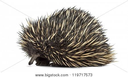 Short-beaked echidna isolated on white (20 years old) poster