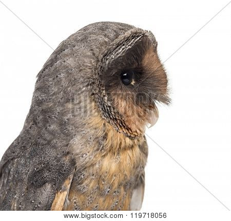 Close-up of a Black barn owl (Tyto alba) in front of a white background