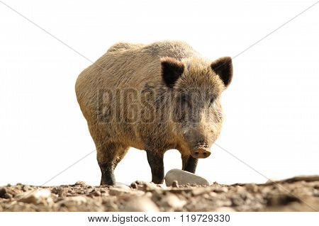 Isolated Wild Boar Looking At The Camera