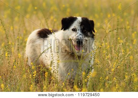 Shepherd Dog On Natural Meadow