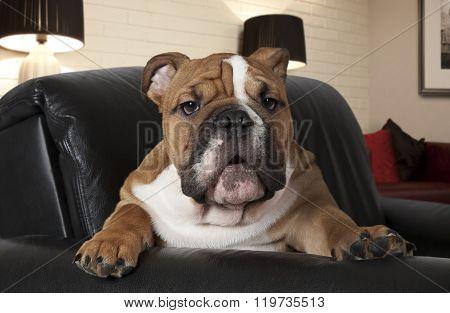 English Bulldog In The Living Room