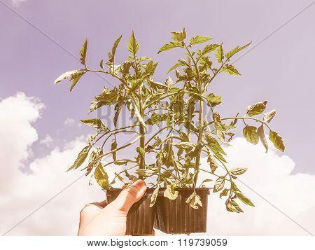 Retro Looking Plug Tomato Plant