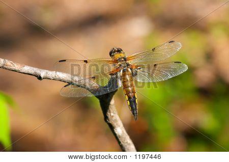 Bright Dragonfly