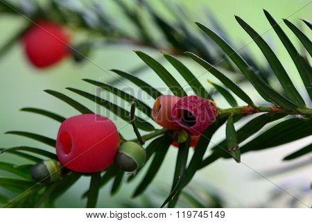 Yew (Taxus baccata) berries