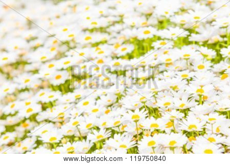 Defocused background of a meadow of marguerite flowers as copy space