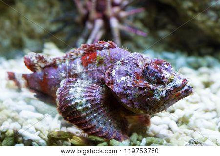 Macro of a false stonefish Indian Ocean