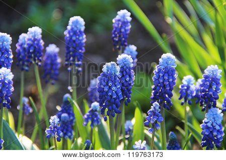 Spring Flowers - Blue Flowers Muscari Or Murine Hyacinth